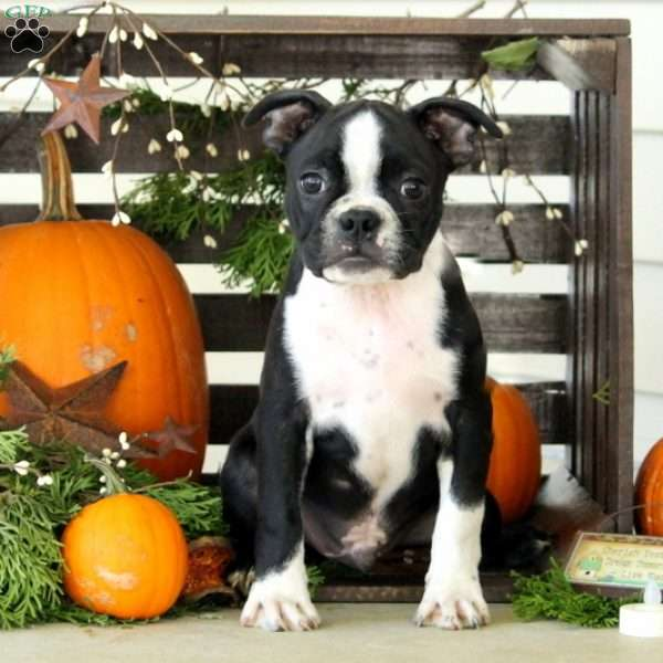 Tucker, Boston Terrier Puppy
