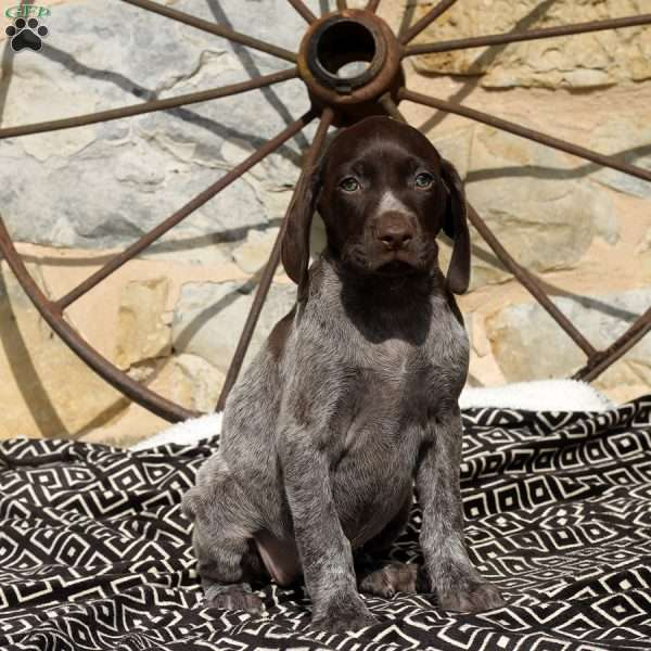 Vera, German Shorthaired Pointer Puppy