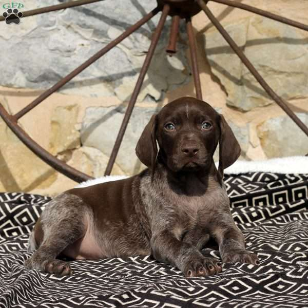 Vicky, German Shorthaired Pointer Puppy