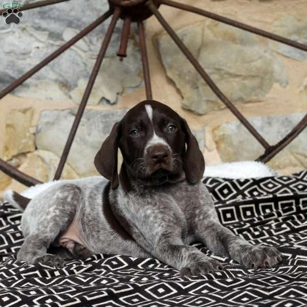 Victor, German Shorthaired Pointer Puppy