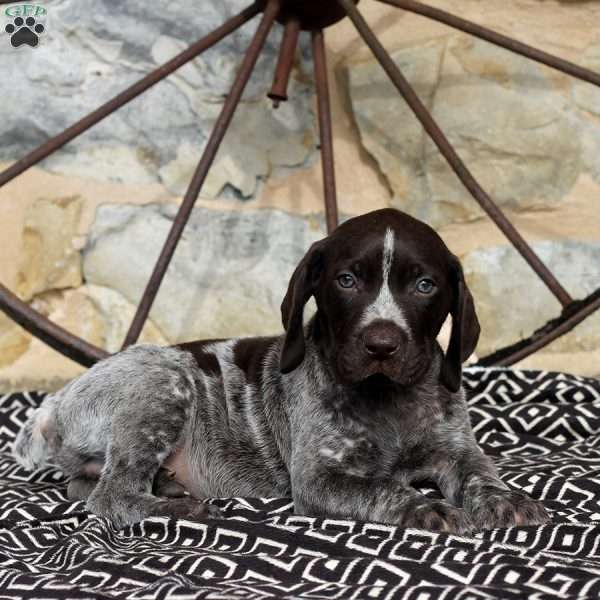 Vince, German Shorthaired Pointer Puppy