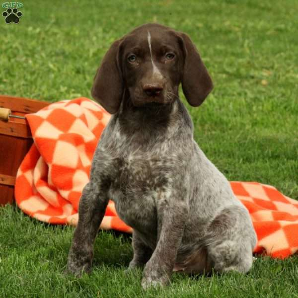 Wally, German Shorthaired Pointer Puppy