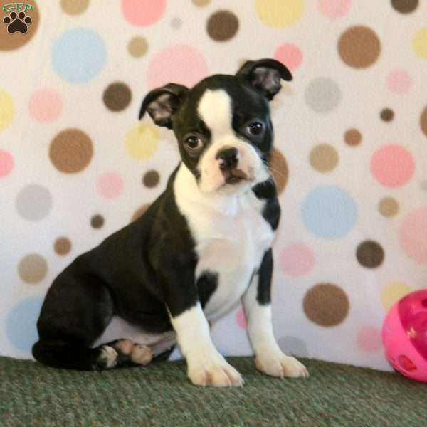 Watson, Boston Terrier Puppy