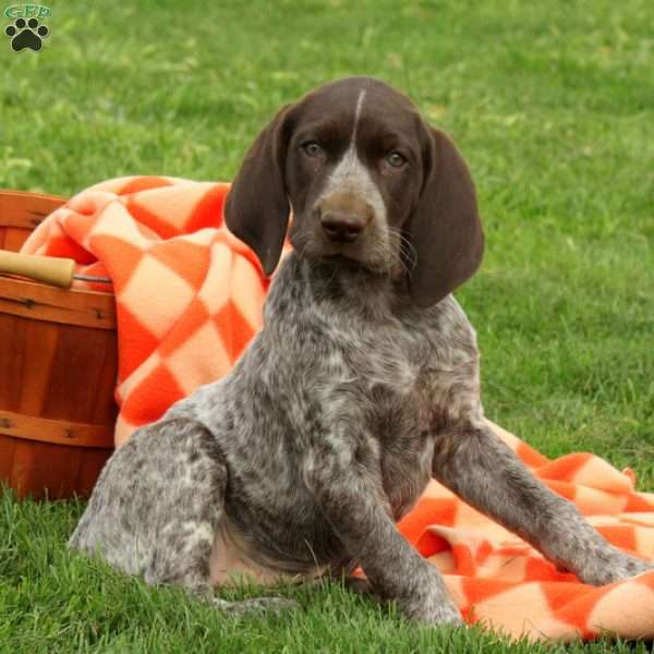 Whinnie, German Shorthaired Pointer Puppy