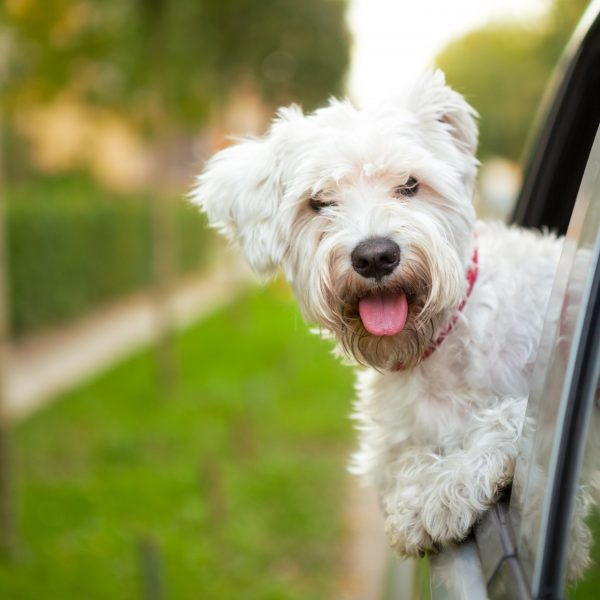 new york dog friendly travel guide - maltese puppy traveling in a car