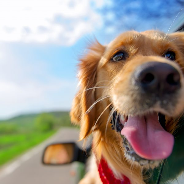 pennsylvania dog-friendly travel guide - golden retriever in a car
