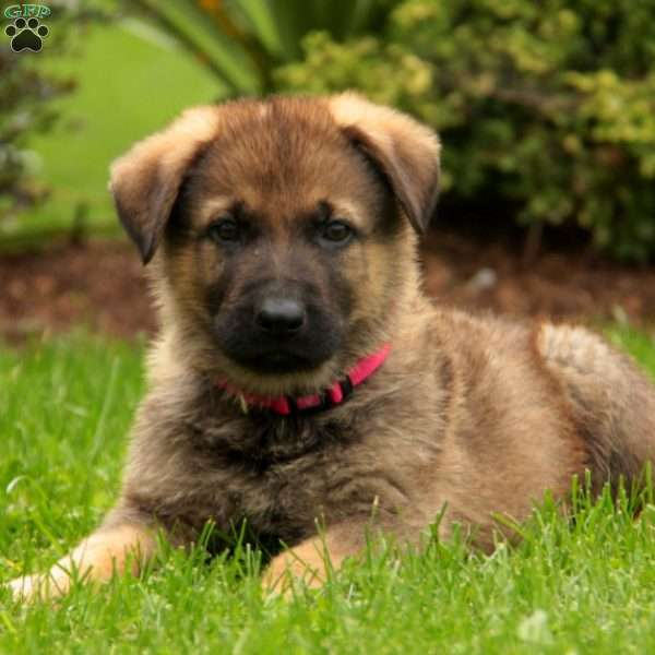 Abe Lincoln, German Shepherd Puppy