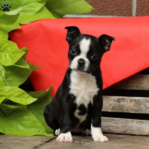 Apple, Boston Terrier Puppy
