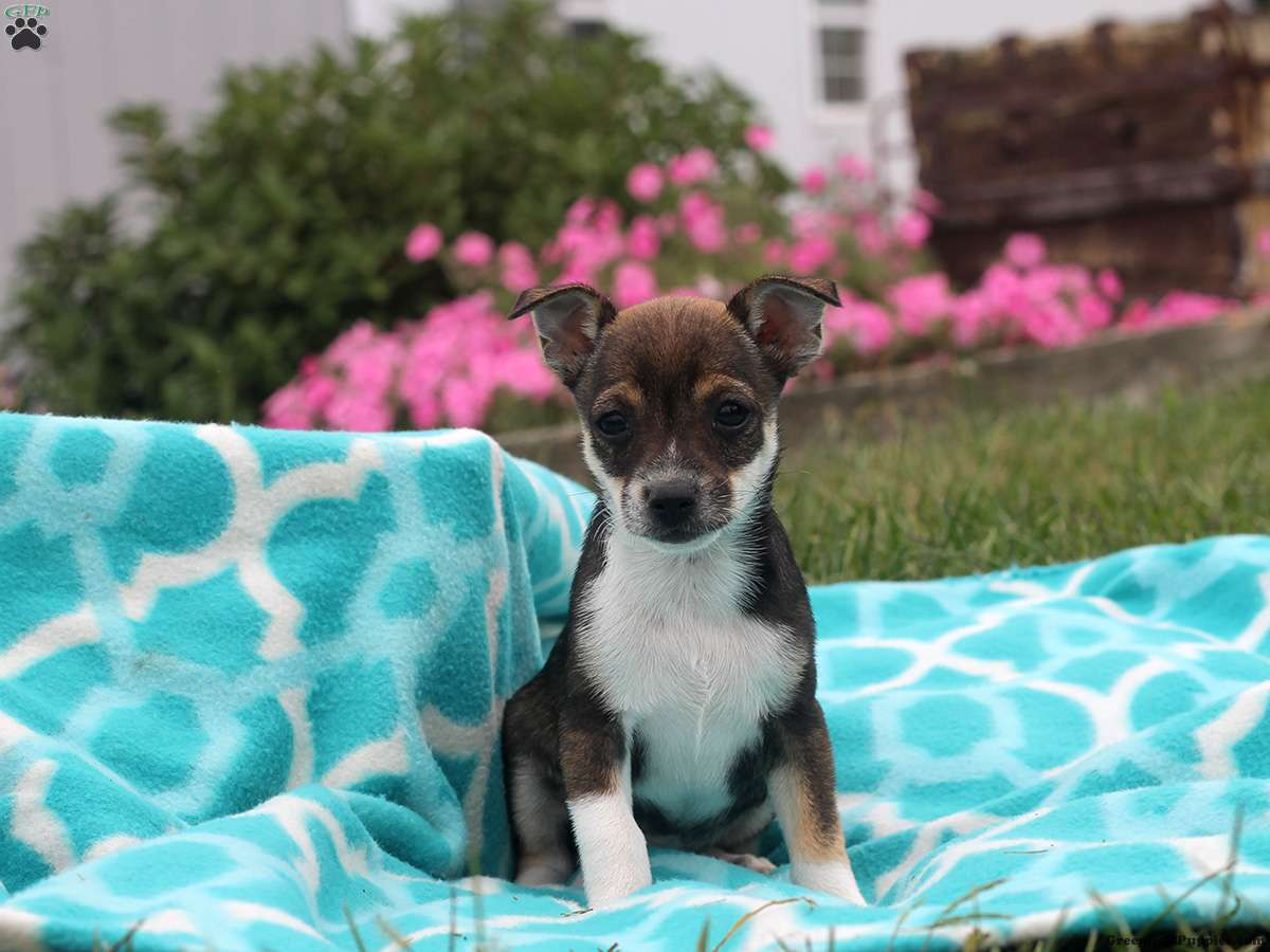 puppies for sale in delaware baxter rat terrier puppy for sale in delaware 7003