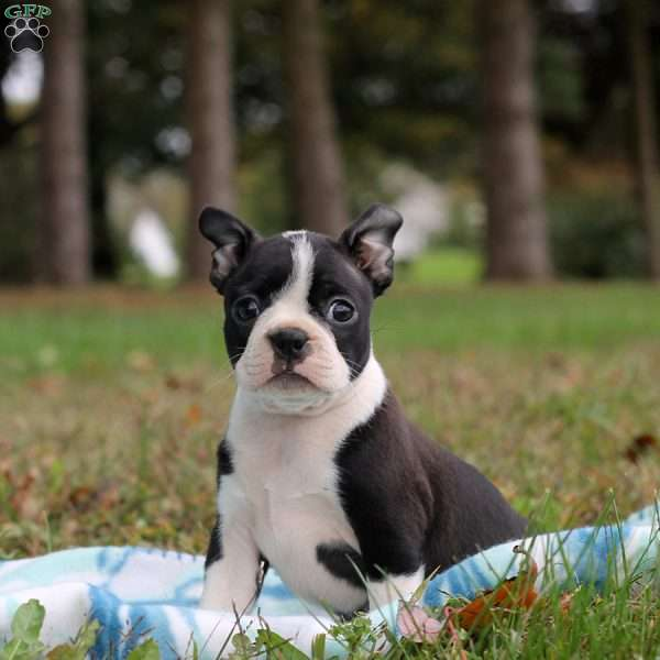 Beth, Boston Terrier Puppy
