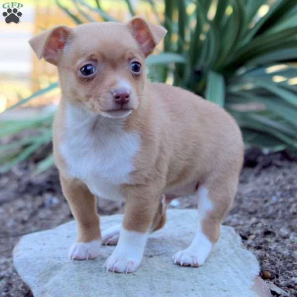 Buster Toy Fox Terrier Puppy For Sale In Pennsylvania