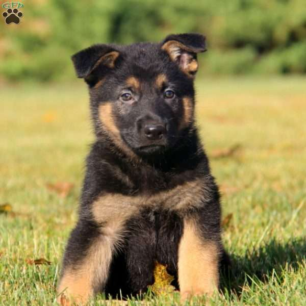 Buster Mac, German Shepherd Puppy