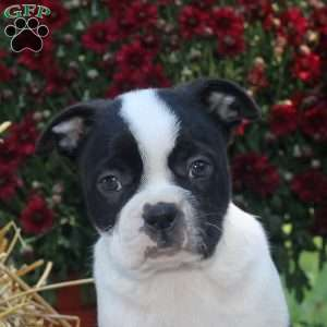 Carter, Boston Terrier Puppy