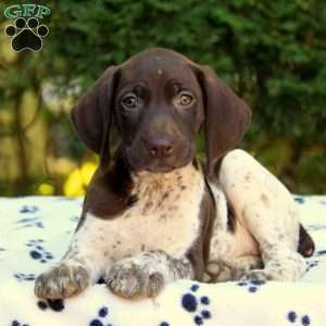 Cassidy, German Shorthaired Pointer Puppy