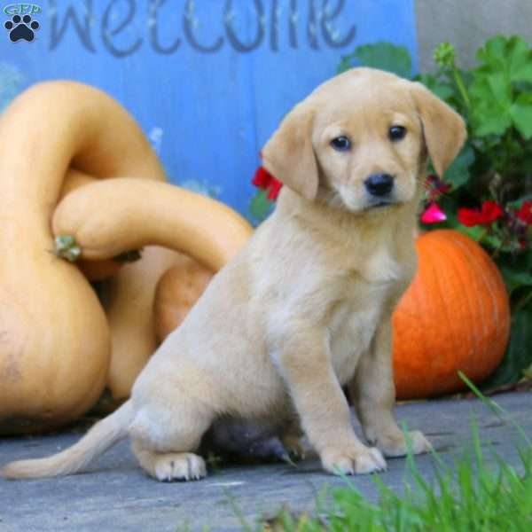 Champ, Labrador Retriever - Yellow Puppy