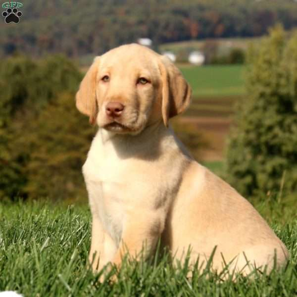 Chance, Labrador Retriever-Yellow Puppy