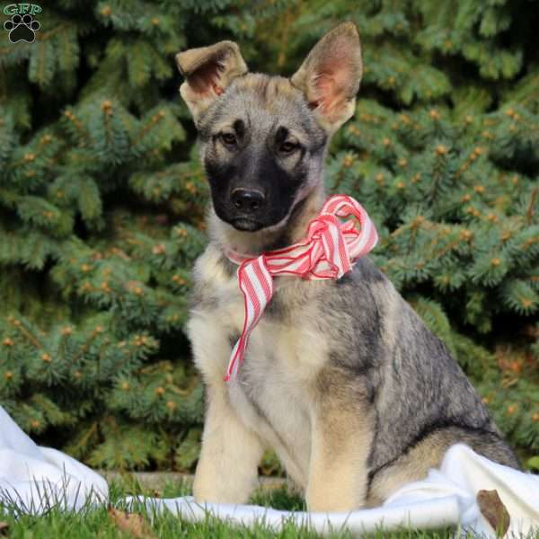 Chandra, German Shepherd Puppy