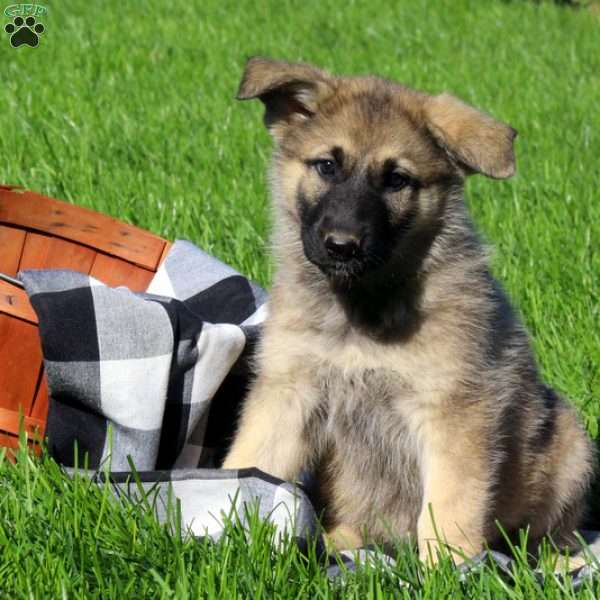Chex, German Shepherd Puppy