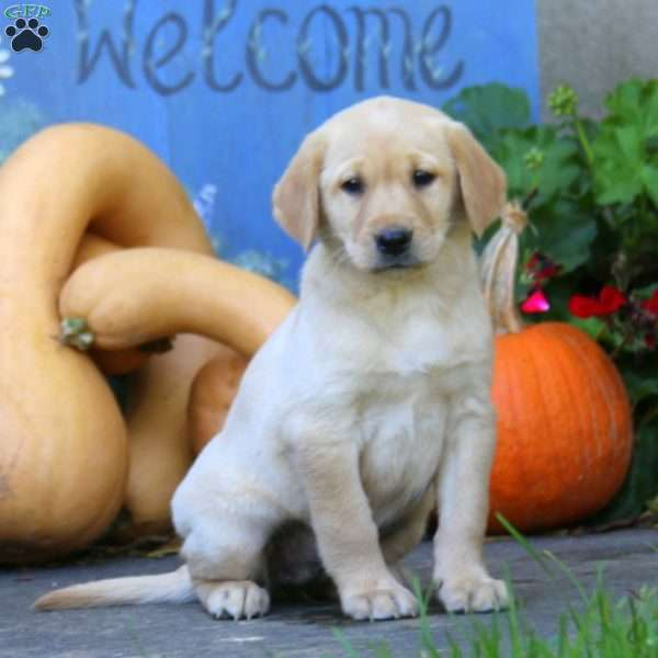 Cheyanne, Yellow Labrador Retriever Puppy