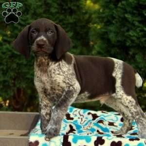 Cocoa, German Shorthaired Pointer Puppy