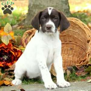 Danika, German Shorthaired Pointer Puppy