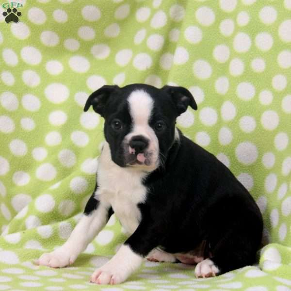 Daphney, Boston Terrier Puppy