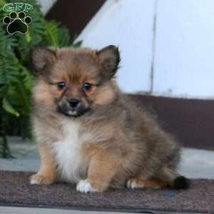 Pomeranian Mix Puppies For Greenfield