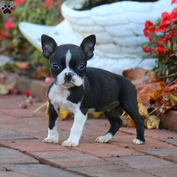 Darling, Boston Terrier Puppy