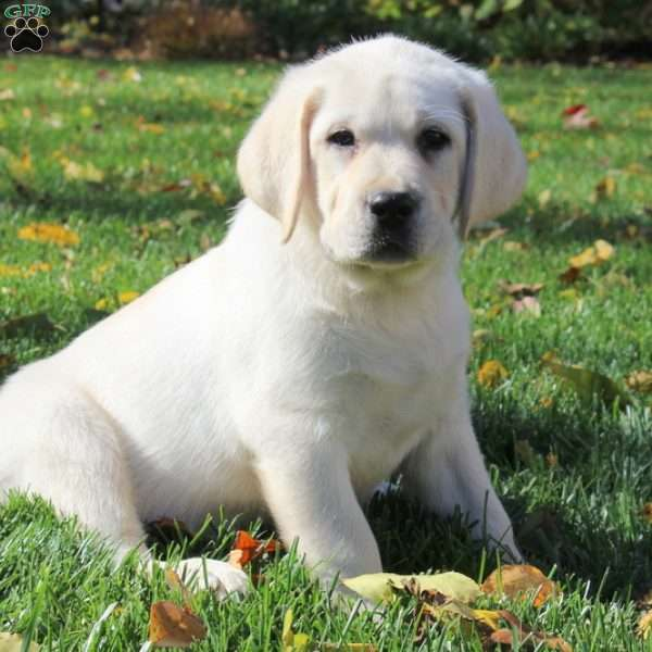 David, Labrador Retriever-Yellow Puppy