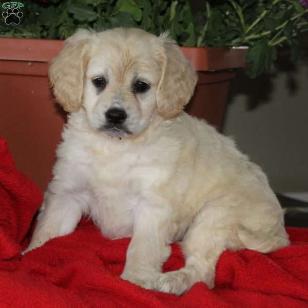 DeAnna, Cocker Spaniel Mix Puppy