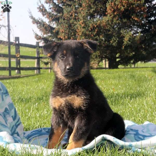 Desiree, German Shepherd Puppy