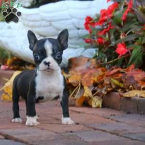 Dolly, Boston Terrier Puppy