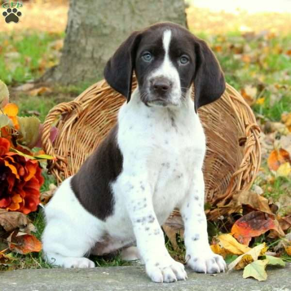 Dolly, German Shorthaired Pointer Puppy