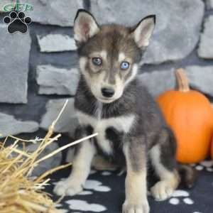 Donny. $800.00 Dundee, OH Siberian Husky Mix Puppy
