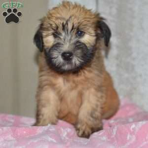 Soft Coated Wheaten Terrier Puppies For In De Md Ny Nj Philly