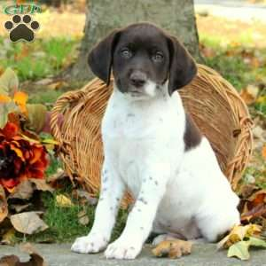 Duchess, German Shorthaired Pointer Puppy