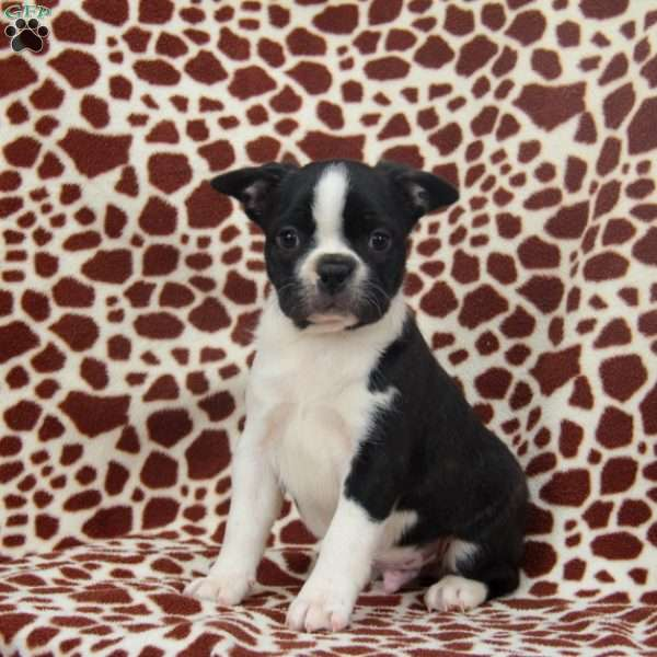 Duncan, Boston Terrier Puppy