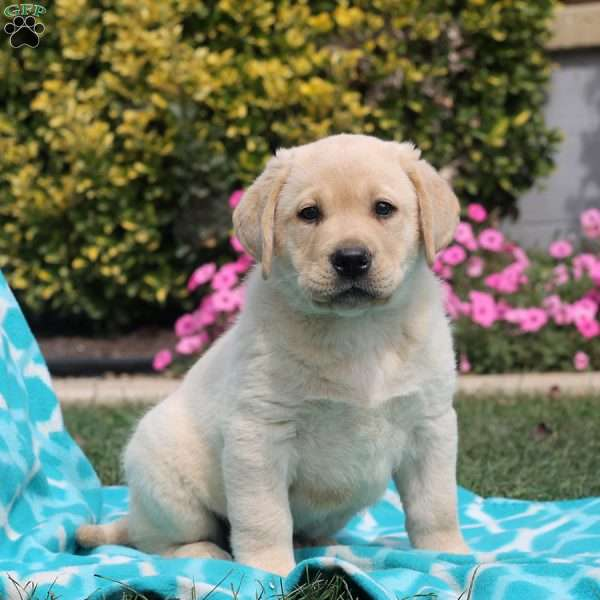 Dylan, Labrador Retriever-Yellow Puppy