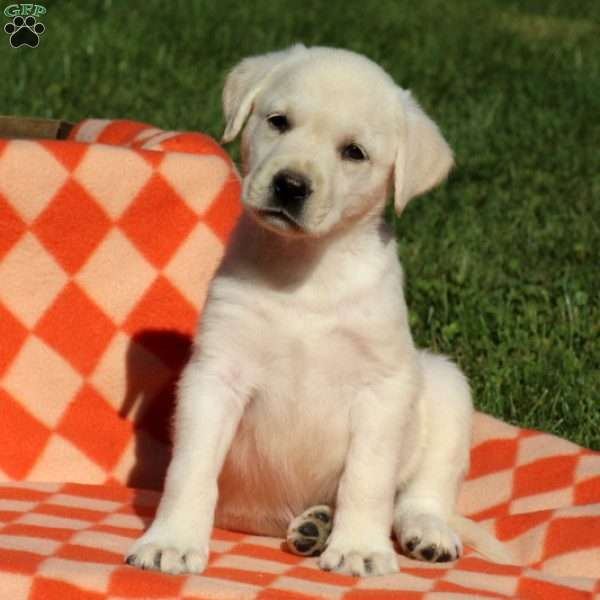 Edelle, Labrador Retriever-Yellow Puppy