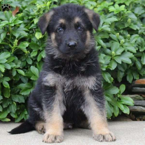 Elliott, German Shepherd Puppy