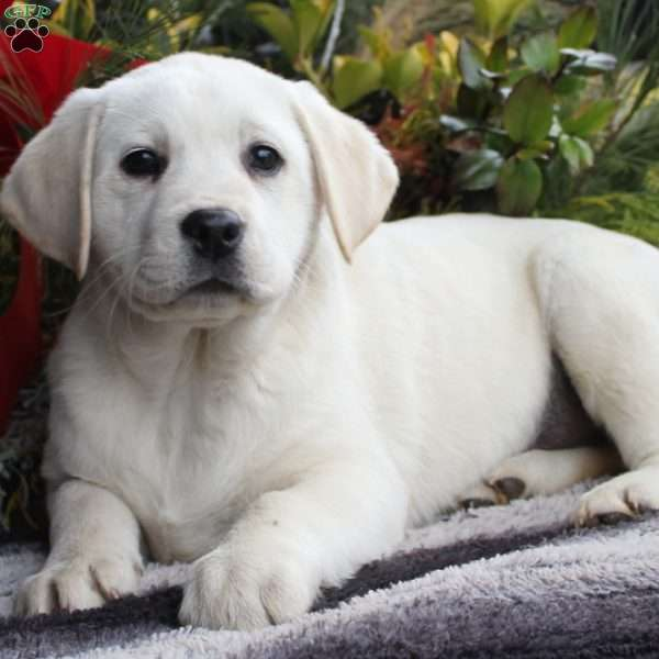Elsie, Yellow Labrador Retriever Puppy
