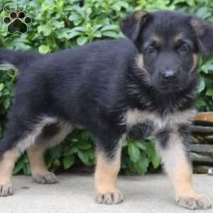 Emma, German Shepherd Puppy