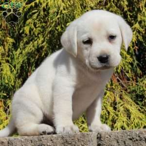 Evan, Labrador Retriever-Yellow Puppy