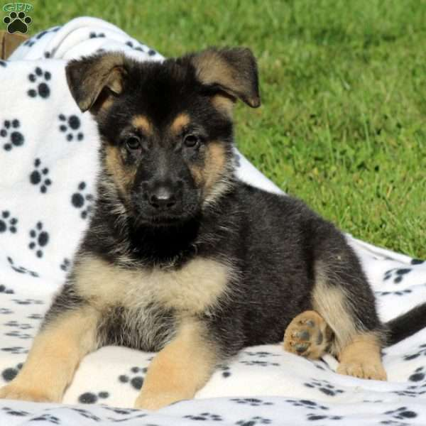 Finch, German Shepherd Puppy