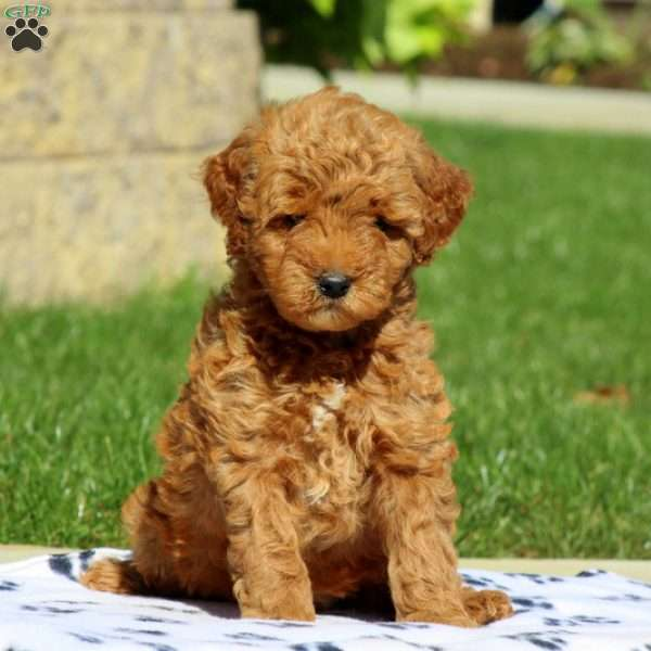 Genevive-F1B, Goldendoodle-Miniature Puppy