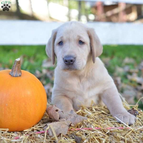 Gunner, Labrador Retriever - Yellow Puppy