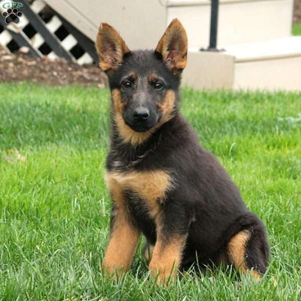 Gypsy, German Shepherd Puppy
