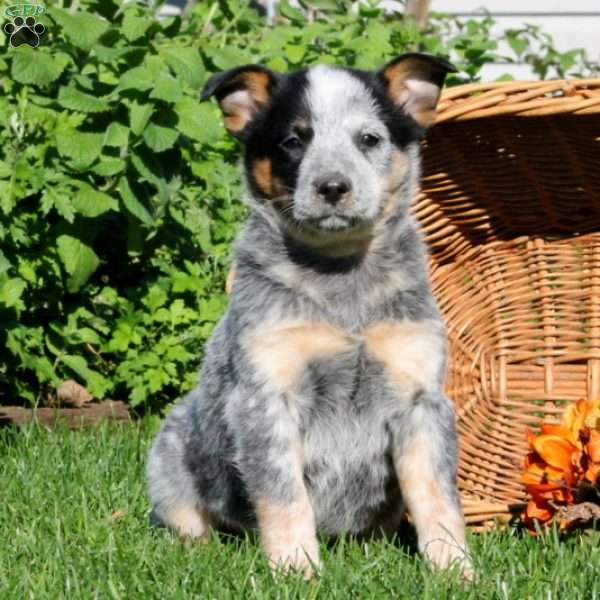 Australian Cattle Dog Puppies For Sale In Pennsylvania