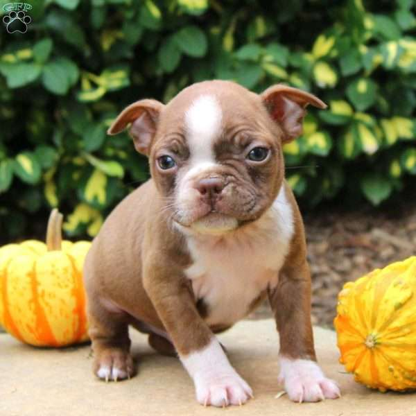 Harvey, Boston Terrier Puppy