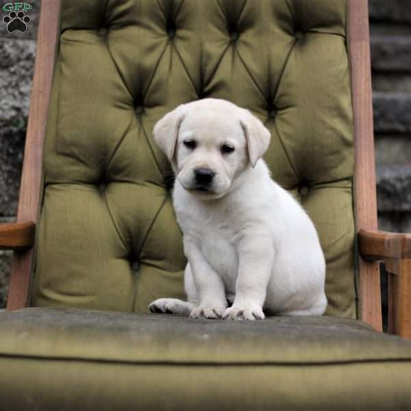Holland, Labrador Retriever-Yellow Puppy